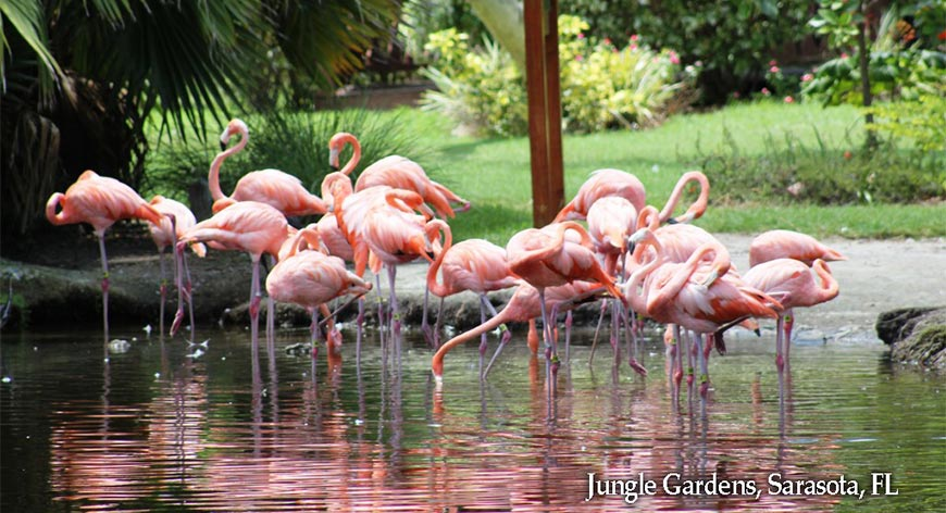 Flamingos in a pond at the Jungle Gardens