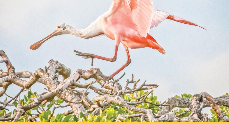 An pink bird resting on the mangroves