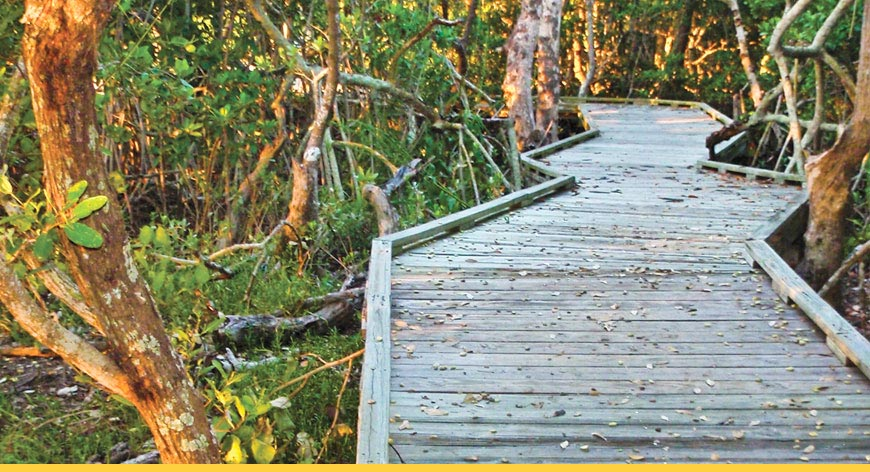 Wooden trail going into mangroves